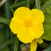 Rock-rose, Helianthemum chamaecistus 5889