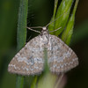Grass Rivulet, Perizoma albulata 5934