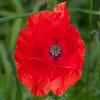 Red Poppy, Papaver rhoeas 5991