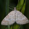 Grass Rivulet, Perizoma albulata 5932