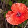 Red Poppy, Papaver rhoeas 1602