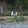 Herring Gulls, Larus argentatus 9410