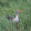 Greylag Goose, Anser anser 9395