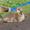 Greylag Goose goslings, Anser anser 9207