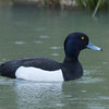 Tufted Duck, Aythya fuligula 9423