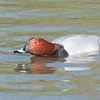 Common Pochard, Aythya ferina 9494