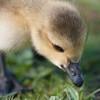 Canada Goose gosling, Branta canadensis 9530