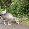 Greylag Goose goslings, Anser anser 9191