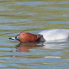 Common Pochard, Aythya ferina 9496