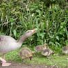 Greylag Goose goslings, Anser anser 9195