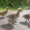 Greylag Goose goslings, Anser anser 9203