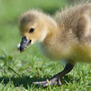 Canada Goose gosling, Branta canadensis 9554