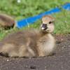 Greylag Goose goslings, Anser anser 9209