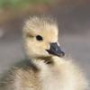 Canada Goose gosling, Branta canadensis 9537