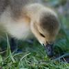 Canada Goose gosling, Branta canadensis 9516