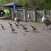 Greylag Goose goslings, Anser anser 9189