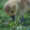 Canada Goose gosling, Branta canadensis 9518