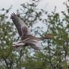 Greylag Goose, Anser anser 9284