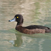 Tufted Duck, female, Aythya fuligula 9445