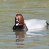 Common Pochard, Aythya ferina 9490