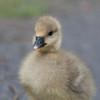 Greylag Goose goslings, Anser anser 9227