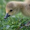 Canada Goose gosling, Branta canadensis 9522