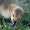 Canada Goose gosling, Branta canadensis 9515