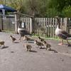Greylag Goose goslings, Anser anser 9188