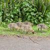 Greylag Goose goslings, Anser anser 9197