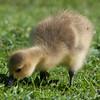 Canada Goose gosling, Branta canadensis 9539