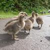 Greylag Goose goslings, Anser anser 9204