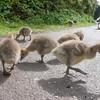 Greylag Goose goslings, Anser anser 9205