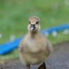 Greylag Goose goslings, Anser anser 9220