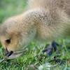 Canada Goose gosling, Branta canadensis 9521