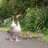Greylag Goose goslings, Anser anser 9190