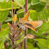 Essex Skipper, Thymelicus lineola 0166