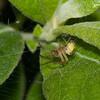 Cucumber Green Spider, Araniella cucurbitina 0724