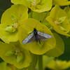 Green Longhorn, Adela reaumurella 0626