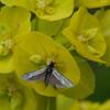 Green Longhorn, Adela reaumurella 0629