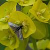 Green Longhorn, Adela reaumurella 0622