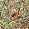 Pearl-bordered Fritillary, Boloria euphrosyne 0485