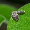 Moth Fly, Pericoma species 0742