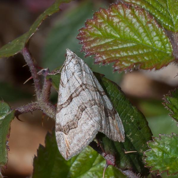 Lesser Treble-bar, Aplocera efformatan 0493