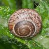 Garden Snail, Helix aspersa 0750