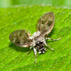 Moth Fly, Pericoma species 0669