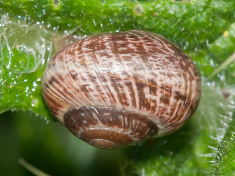 Garden Snail, Helix aspersa 0751