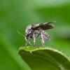 Moth Fly, Pericoma species 0740