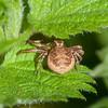 Crab Spider, Xysticus cristatus 0795