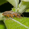 Brown Willow Beetle, Galerucella lineola 0694