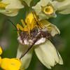 Crab Spider, Misumena vatia with hoverfly 0653